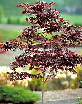 Japanese Maples Examples From Pond And Garden Nursery