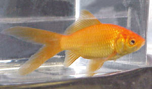 lighter orange comet goldfish, side view
