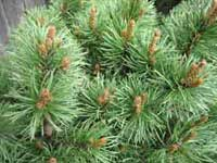 Dwarf Conifer, lovely and lush