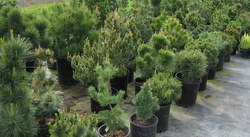 Dwarf Conifers, picture 3