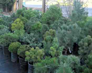 Dwarf Conifer Group