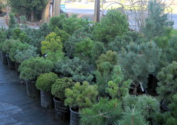Dwarf Conifers, picture 1