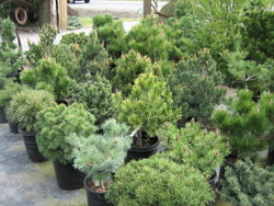 Dwarf Conifers, picture 2