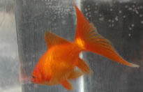 red comet goldfish, view of tail