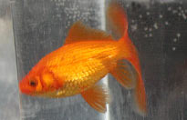 red comet goldfish facing left