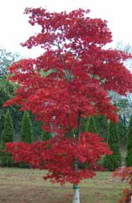 Japanese Maple, red and upright