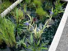 Water Plants in Pond